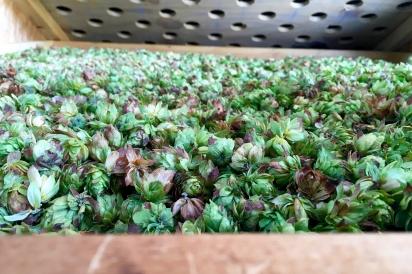 Drying hops